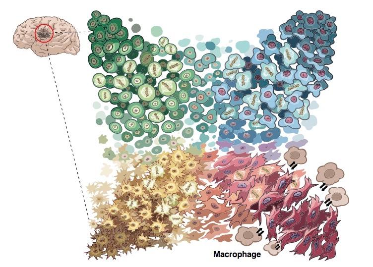 glioblastoma cell types, via single-cell sequencing